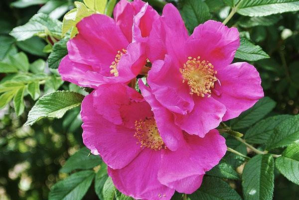 цветет шиповник