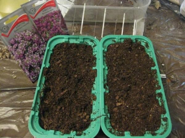 посев семян алиссума на рассаду