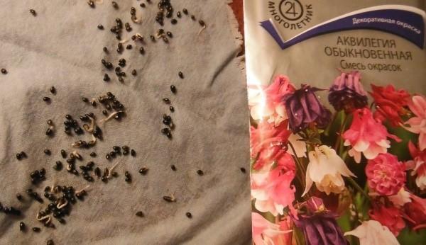 посев семян аквилегии на рассаду