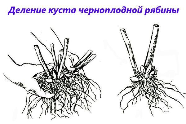 деление куста рябины