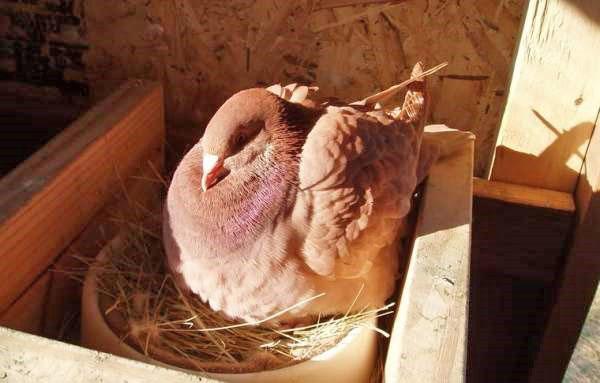 самка откладывает яйца