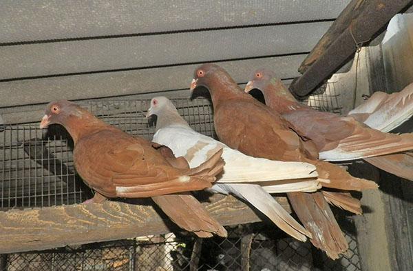 содержание голубей как бизнес