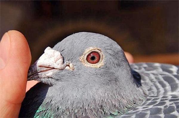 определяем возраст голубей