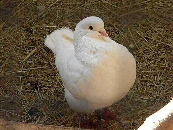 комфортные условия содержания голубей