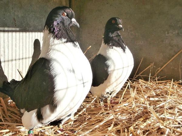 откорм голубей