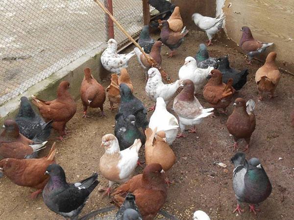 голуби в вольере