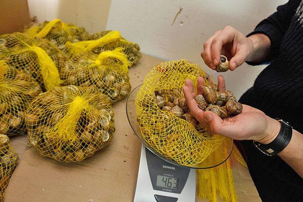 подготовка виноградных улиток к продаже