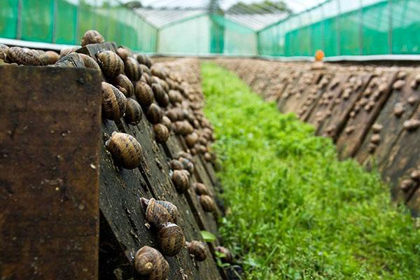 выращивание виноградных улиток в теплице