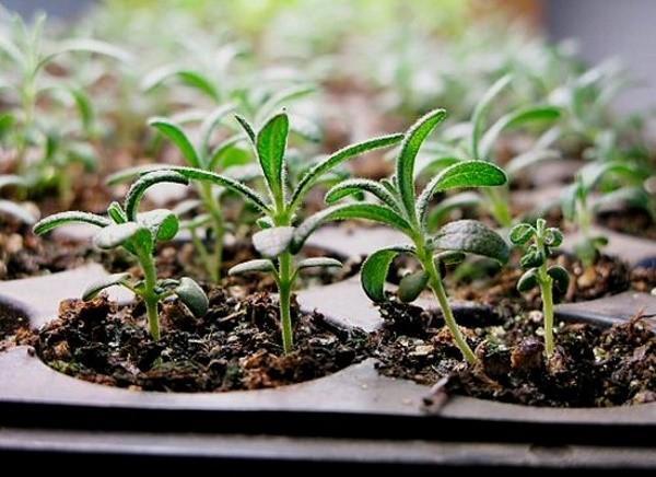 розмарин из семян
