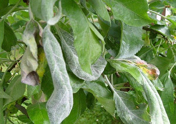 у яблони скручиваются листья