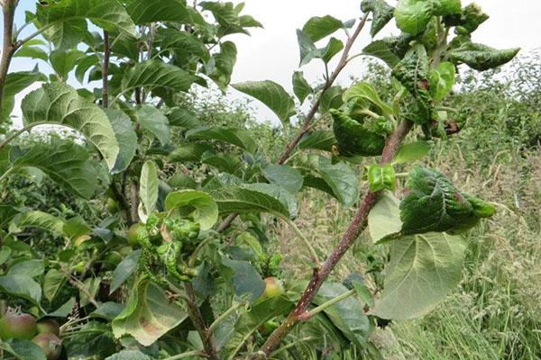 пораженная тлей яблоня