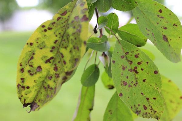 парша на листьях яблок