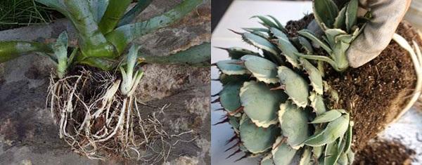 размножение агавы детками