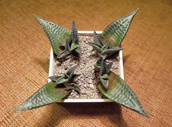 агава из листовых черенков