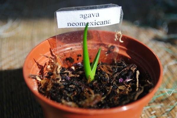выращивание агавы из семян