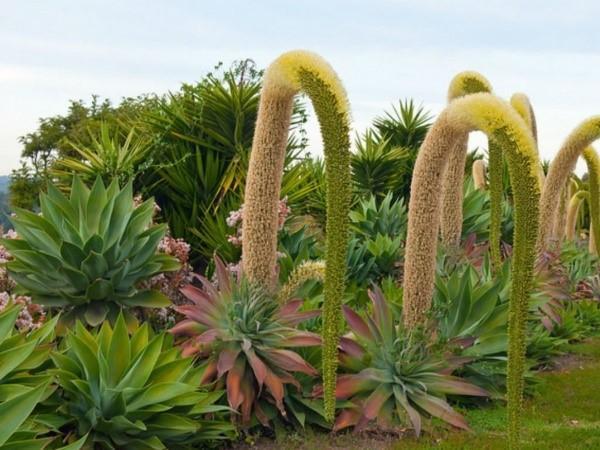 агава в дикой природе