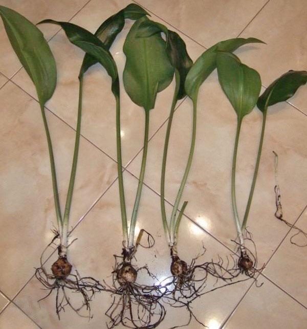 размножение эухариса луковицами