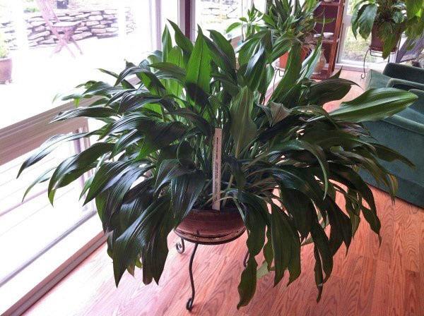 луковичное растение эухарис