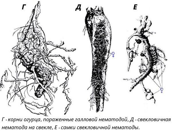 галловая нематода