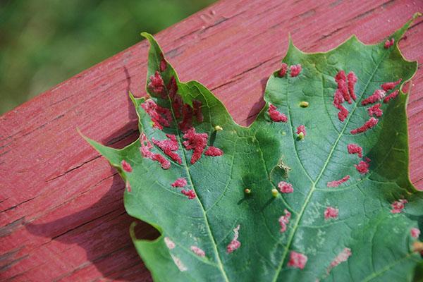 листовая нематода