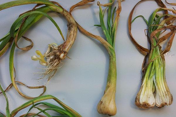 стеблевые нематоды на луке