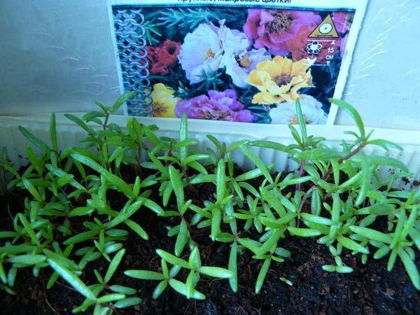 выращивание цветочного портулака через рассаду
