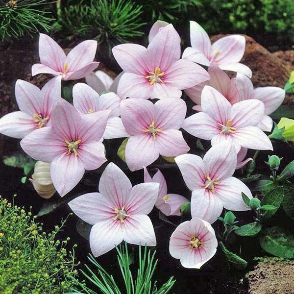 нежные цветы платикодона