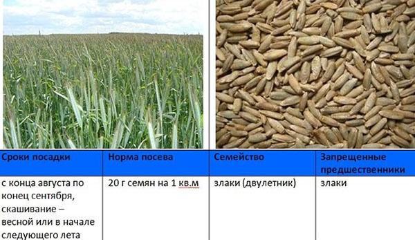сроки и норма посева ржи