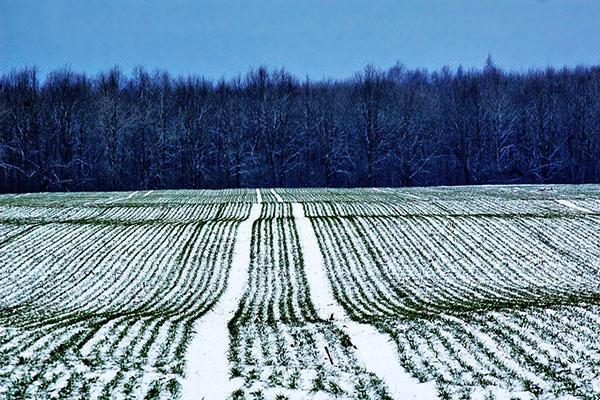 поле ржи зимой