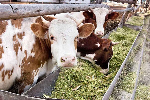 кормление коров силосом