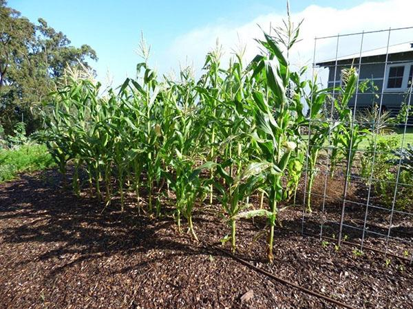 кукуруза - основной компонент силоса