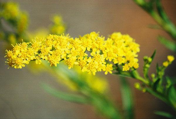 цветы цвета солнца