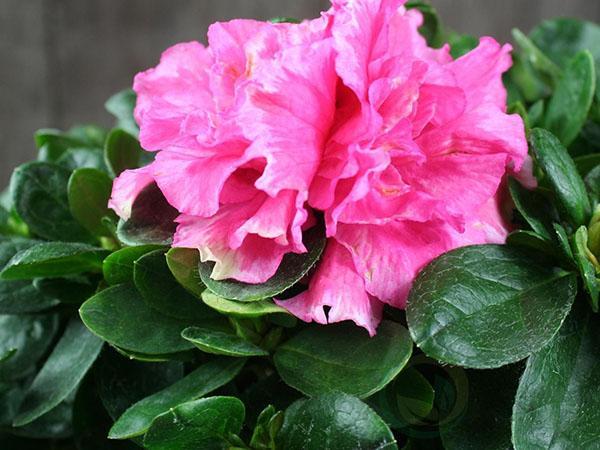 красивые цветы азалии