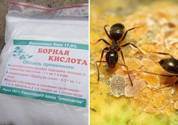 Борная кислота от муравьев в огороде: 4 способа применения