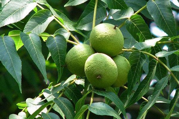 зеленые плоды черного ореха