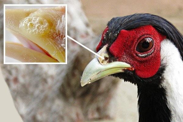 болезнь фазана