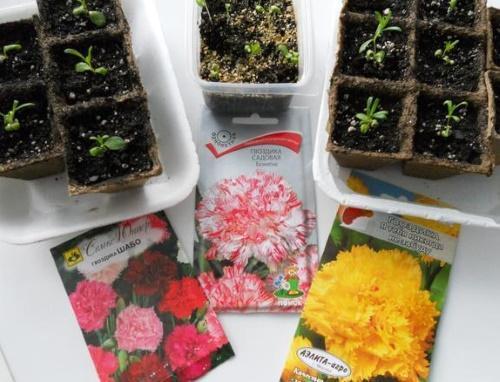 как вырастить рассаду гвоздики