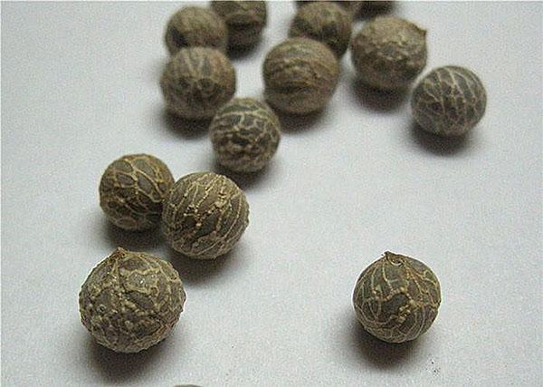 семена хамедореи изящной
