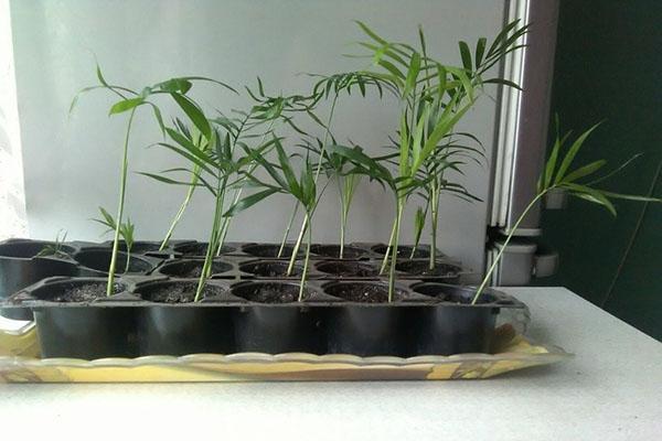 всходы семян хамедореи
