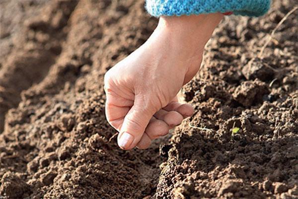 посев семян катрана
