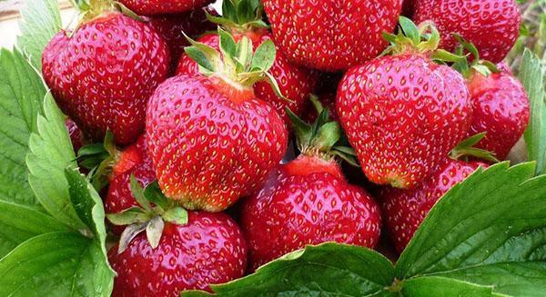 плотные сочные ягоды