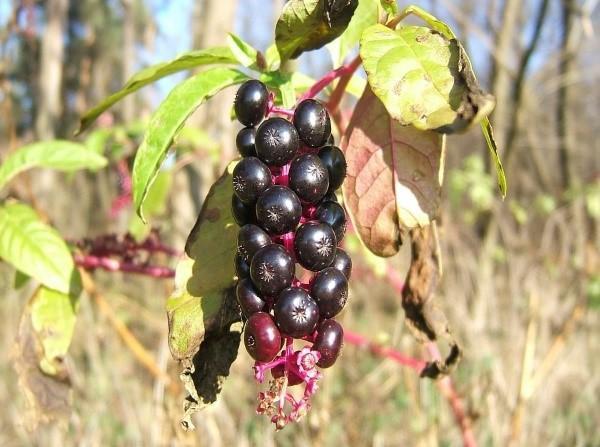 созревают плоды лаконоса