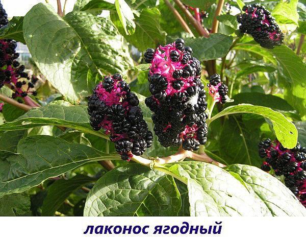 лаконос ягодный