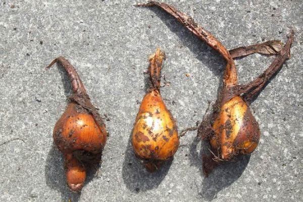 луковицы для приготовления настоя