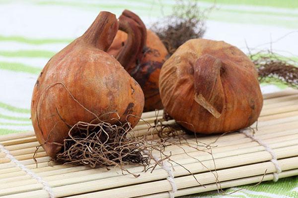 заготовка луковиц