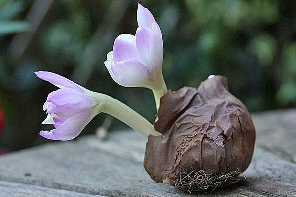 цветет луковица безвременника