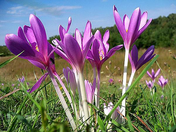 цветет безвременник