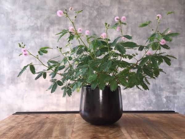 мимоза стыдливая выращивание