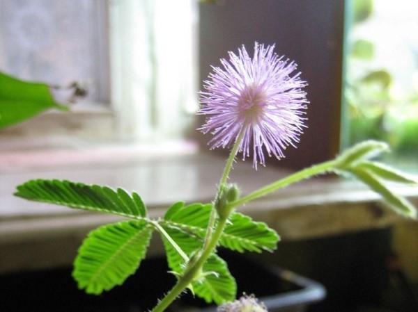 цветение мимозы стыдливой