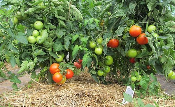 мульчирование помидоров в открытом грунте